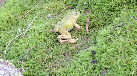 rana : green frog lithobates clamitans predator catch earthworm worm prey on swamp moss.