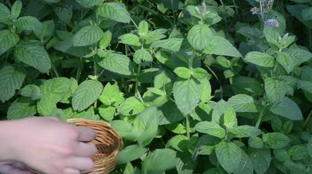 organic : closeup woman hands gather pick mint leaves into wicker wooden dish. alternative medicine herbs.
