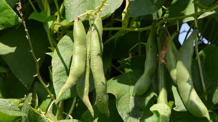 üretmek : closeup of green bean pods and leaves moving in wind.