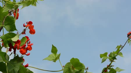 üretmek : red bean blooms and leaves move in wind on background of blue cloudy sky.