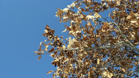 dub : golden oak branch with dry leaves move in wind on background of blue sky. Dostupné videozáznamy