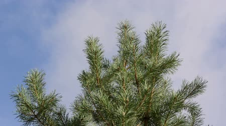 tű : pine tree branch move in wind closeup on background of cloud fly in sky.