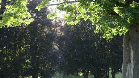 outside view : ancient old trees in park and lot of insects flying in evening sunlight.
