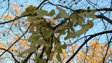 detalhes : big creeper leaf grow on tree branch and beautiful autumn oak tree leaves moving on background of blue sky.