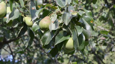 üretmek : closeup pear tree branch with fruits move in wind. Stok Video
