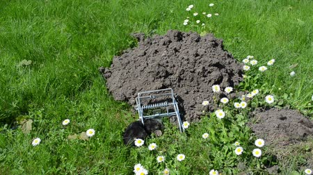 molehill : Mole caught with special trap near mole hill and small daisy flowers move in wind.