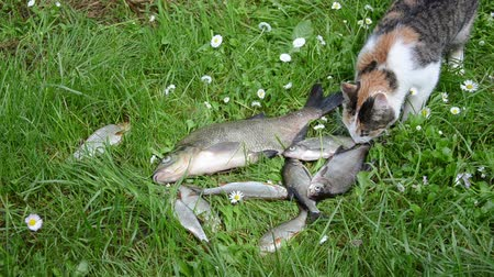 thieve : Alive bream and roach fishes lie struggling on grass and cat pet steal thieve borrow food
