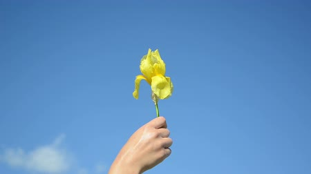 blooms : Gardener hand holding yellow iris flower bloom on blue sky background. Stock Footage