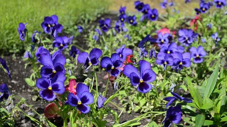 maceška : garden blue viola violet pansy flower blooms move in wind.