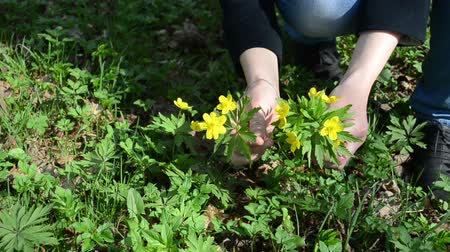 yay : woman hands pick yellow anemone windflower forest flowers in early spring park.