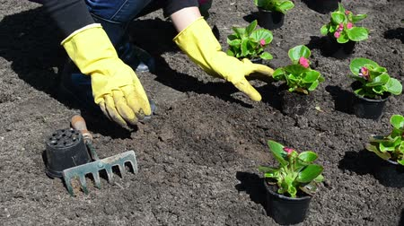 герань : Woman girl with small raker tool and yellow rubber gloves plant begonia flowers into light soil.