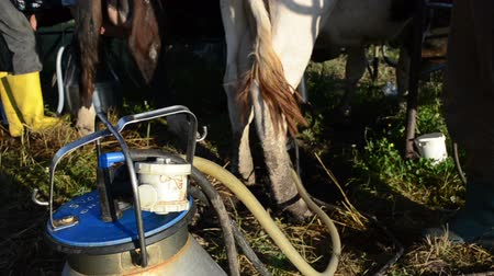 smoczek : Closeup of special milking equipment pumping cow milk to can and farmers