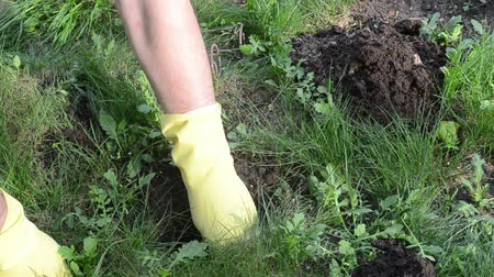 haşarat : Gardener man hands with rubber gloves put special mole trap in hole burrow tunnel under lawn.