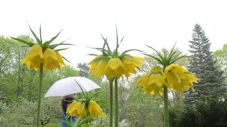 superb : Fritillary Fritillaria yellow spring flower bloom in garden and woman with dress and umbrella walk.