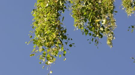 ramos : Leaves on a branch of a birch tree move in wind against the blue sky background. Birds sing in early morning. Stock Footage