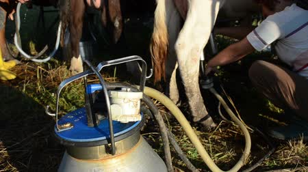 smoczek : LIVONYS, LITHUANIA - CIRCA JUNE 2013 - special milking equipment pump cow milk to can and farmers working circa June 2013 in Livonys, Lithuania.