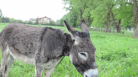prado : Donkey muzzle and farmer woman hand feed him bunch of green grass. Wet animal in pasture.