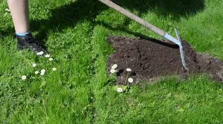 molehill : gardener work man with rake tool level mole hill on meadow lawn grass and daisy flowers