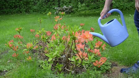 konewka : Gardener woman water orange rhododendron flower with blue watering can tool in garden.