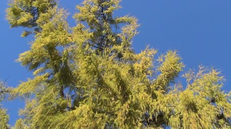 outonal : wide green branches of larch treetop on background on blue sky