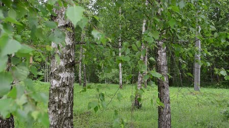 береза : Closeup of birch tree trunks and branches with green leaves move in wind.