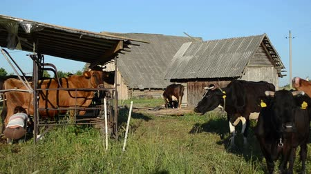 dairy animal : Panorama of farmer dairy milk maid woman milking cow and other animal waiting in row.