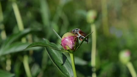 hayvan kafa : big bright brown cockchafer chafer sits quietly on the peony bud through it crawls small brown ants