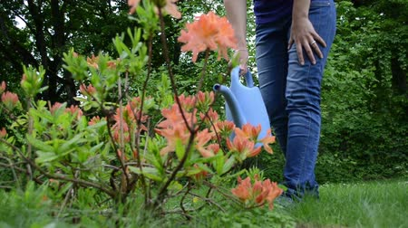 nipple : Blond gardener woman water orange rhododendron flower with blue watering can tool in garden.