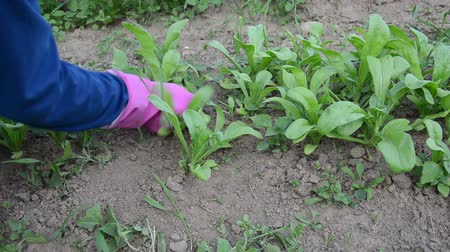 glove : Gardener woman girl hands in rubber gloves grub up weeds  between marigold calendula plants in garden. Stock Footage