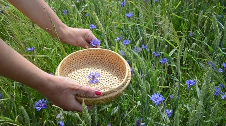 herbalist : Closeup of woman hand with red nails pick blue cornflower flowers herb to wicker dish in agriculture field. Stock Footage