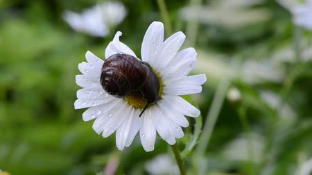 százszorszép : Closeup of wet snail on daisy flower bloom center covered with early morning dew drops move in wind. Stock mozgókép