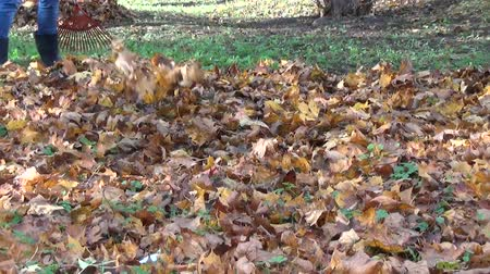 yards : girl raking in a pile a lot of dry autumn maple leaves