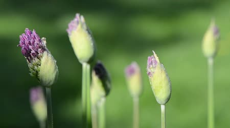 gömbölyű : unexpanded decorative garlic flower buds covered with morning dew water drops move in wind. Birds sing.