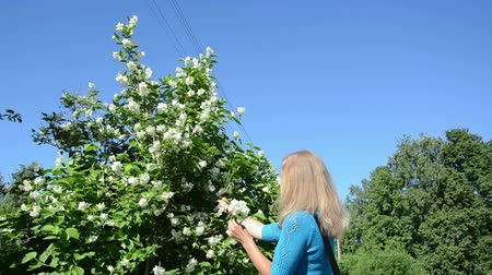 yasemin : girl woman in blue pick jasmin syringa bush white blooms on background of blue sky.