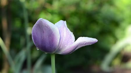 blooms : Early morning dew water drops on purple decorative tulip flower bloom move in wind in spring garden. Birds sing. Stock Footage