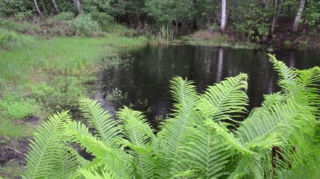 kapradina : large green ferns old village pond overgrown with bushes grasses rainy day summer