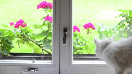 side window : White fluffy cat pet sit on windowsill window sill waslk away and toher one come and flowers on other side.