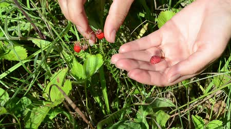 çilek : Closeup of woman girl hands gather pick wild strawberry to palm in forest meadow. Stok Video