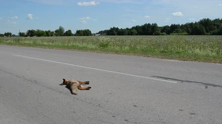 лиса : car passes on the road lying dead brown fox
