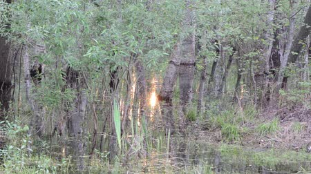 napfény : flooded grove water glittering with sunlight flying mosquitoes stand stiff grass