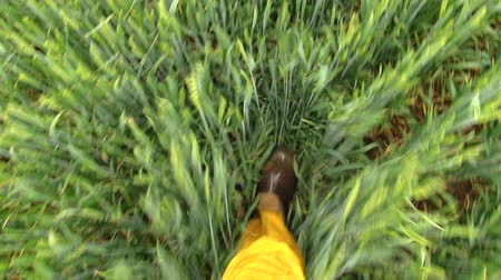 tecido : Man foot with rubber boots shoes and waterproof yellow pants walk between wheat plants in agriculture field. Handheld closeup shot on Canon XA25. Full HD 1080p. Progressive scan 25fps.
