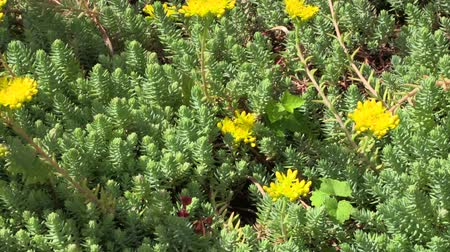sedum : Yellow succulent orpin plant flower blooms grow in garden. Right side sliding shot. Full HD 1080p. Progressive scan 25fps. Dolly camera movement. Stock Footage