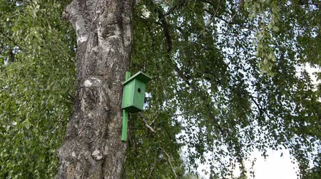 самодельный : Green bird house nesting-box hang on old birch tree trunk and branches move in wind.