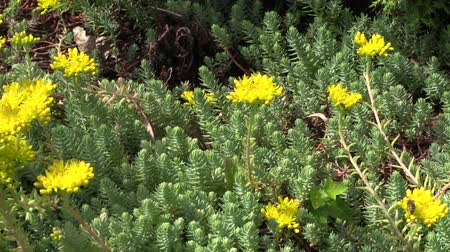 sedum : green nice succulent orpin (lot.Sedum) with yellow blossom in park. Exotic plant in the garden. Full HD 1080p. Progressive scan 25fps. Dolly camera movement.    Stock Footage