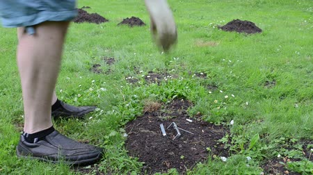haşarat : Mole hills on lawn and gardener in shorts take out empty mole trap equipment from ground. Stok Video
