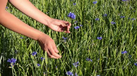 goes : female arm gather cornflower long stems make them into a small bouquet