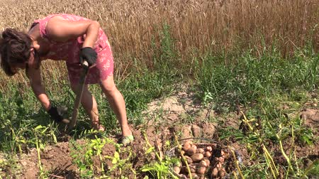 ásás : Peasant woman harvest dig eco potato with fork in farm land. Right side sliding shot on Canon XA25. Full HD 1080p. Progressive scan 25fps. Dolly camera movement.