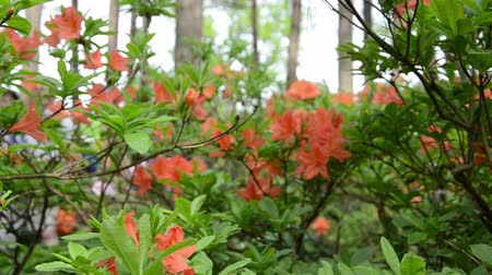 rhododendron : Panorama of orange rhododendron flower plant blooms in summer park and blurred people tourists walk in background.