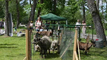 sheepfold : KAIRENAI, LITHUANIA - MAY 24, 2014: Citizen people tourists admire farm animal sheep goat and birds in agricultural exhibition on May 24, 2014 in Kairenai, Lithuania. Stock Footage