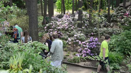 rhododendron : KAIRENAI, LITHUANIA - MAY 24, 2014: Visitors people admire colorful rhododendron blooms flower plants in summer botanical garden on May 24, 2014 in Kairenai, Lithuania. Stock Footage